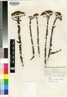 Holotype of Selago corymbosa L. [family SCROPHULARIACEAE]