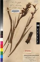 Isotype of Disa pulchra Sond. [family ORCHIDACEAE]