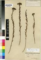 Isotype of Selago blantyrensis Rolfe [family SCROPHULARIACEAE]
