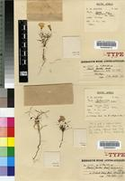 Isotype of Oxalis leptogramma T.M.Salter [family OXALIDACEAE]
