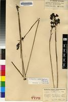 Isotype of Eulophia odontoglossa Rchb.f. [family ORCHIDACEAE]