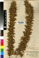Isotype of Cliffortia phillipsii Weim. [family ROSACEAE]