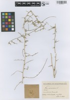 Filed as Noaea spinosissima (L. f.) Moq. [family CHENOPODIACEAE]