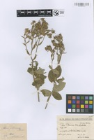 Holotype of Rosa phoenicea Boiss. [family ROSACEAE]