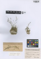 Holotype of Agrostis olympica (Boiss.) Bor [family POACEAE]