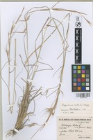 Filed as Hyparrhenia hirta (L.) Stapf [family POACEAE]