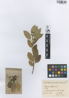 Filed as Rhamnus alaternus L. [family RHAMNACEAE]