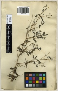 Filed as Indigofera tinctoria L. [family LEGUMINOSAE]