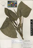Paratype of Dieffenbachia isthmia Croat [family ARACEAE]