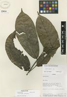 Paratype of Unonopsis longipes Maas & Westra [family ANNONACEAE]