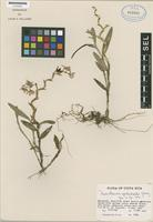 Isotype of Neowilliamsia epidendroides Garay [family ORCHIDACEAE]