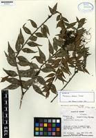 Isotype of Macleania dodsonii Luteyn [family ERICACEAE]