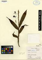 Paratype of Epidendrum gentryi Dodson [family ORCHIDACEAE]