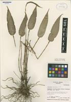 Holotype of Lepanthes ballatrix Luer [family ORCHIDACEAE]