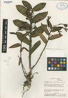 Holotype of Epidendrum medinae Dodson [family ORCHIDACEAE]