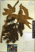 Holotype of Aechmea chantinii variety fuchsii H. Luther [family BROMELIACEAE]