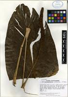 Holotype of Stenospermation arborescens Madison [family ARACEAE]