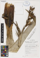 Holotype of Werauhia boliviana H. Luther [family BROMELIACEAE]