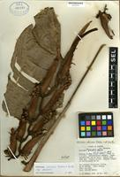 Holotype of Heliconia obscura Dodson & A.H. Gentry [family HELICONIACEAE]