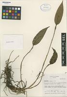 Holotype of Lepanthes repens Luer [family ORCHIDACEAE]