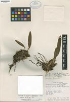 Holotype of Maxillaria riopalenquensis Dodson [family ORCHIDACEAE]