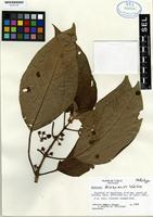 Holotype of Besleria chiriquensis Wiehler [family GESNERIACEAE]