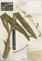 Isotype of Brassia jipijapensis Dodson & N.H. Williams [family ORCHIDACEAE]