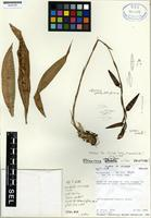 Holotype of Pitcairnia andreetae H. Luther [family BROMELIACEAE]