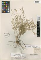 Holotype of Chusquea parvifolia Phil. [family GRAMINEAE]