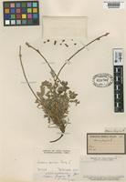 Type of Acaena fuegina Phil. [family ROSACEAE]