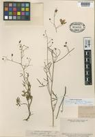 Lectotype of Cristaria glabrata Phil. [family MALVACEAE]