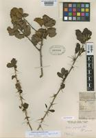 Lectotype of Berberis polymorpha Phil. [family BERBERIDACEAE]