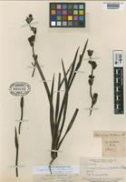 Type of Sisyrinchium bracteosum Phil. [family IRIDACEAE]