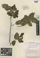 Isotype of Nothofagus megalocarpa Reiche [family FAGACEAE]