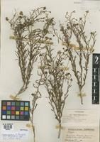 Isotype of Boopis anthemoides Juss. var. subintegrifolia Hicken [family CALYCERACEAE]