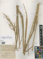 Isotype of Panicum altum Hitchc. & Chase [family POACEAE]
