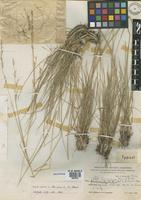 Holotype of Stipa neesiana Trin. & Rupr. var. formicarioides Burkart [family POACEAE]