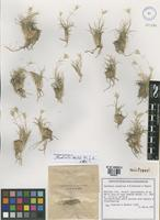 Holotype of Danthonia annableae P.M. Peterson&R£golo [family POACEAE]