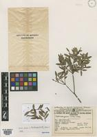 Isotype of Siphoneugena reitzii D. Legrand [family MYRTACEAE]