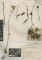 Isosyntype of Begonia boliviensis A. DC. var. volcanensis Smith & Schubert [family BEGONIACEAE]