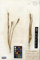 Distichlis spicata (L.) Greene [family POACEAE]