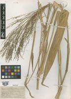 Isotype of Panicum grande Hitchc. & Chase [family POACEAE]