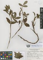 Isotype of Arachis hatschbachii Krapov. & W.C. Gregory [family FABACEAE]