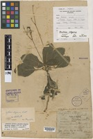 Holotype of Paraboea obovata Ridl. [family GESNERIACEAE]