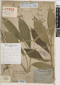Isolectotype of Globba macranthera Ridl. [family ZINGIBERACEAE]