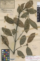 Isotype of Willughbeia cochinchinensis Pierre [family APOCYNACEAE-RAU]