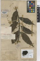 Lectotype of Conocephalus scortechinii King [family URTICACEAE]
