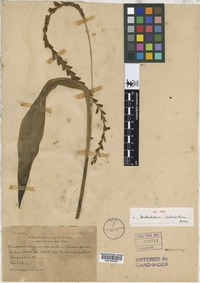 Isotype of Dendrochilum imbricatum Ames [family ORCHIDACEAE]