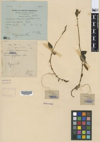 Isotype of Zeuxine papillosa Carr [family ORCHIDACEAE]