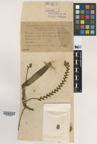 Isotype of Thrixspermum triangulare Ames & C. Schweinf. [family ORCHIDACEAE]
